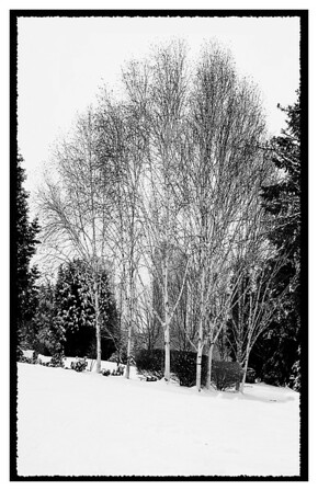 Birches in Downtown Bellevue Park