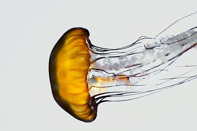 Jellyfish Study #2