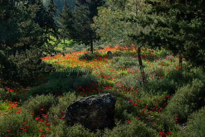 Poppies - Emek HaEla 08-119-h