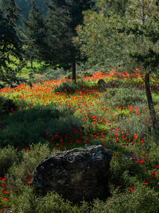 Poppies - Emek HaEla 08-119v