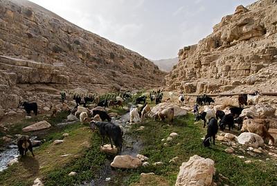 Grazing Goats Judean Desert Nachal Prat Kelt 017