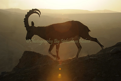 Ibex at sunset in the Negev Deert