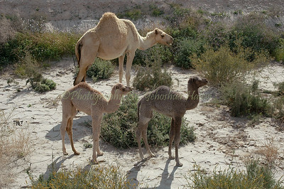 Mother and Baby Camels Negev Desert