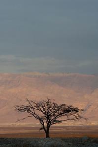 Dead Sea  Lone Acacia Tree - 9975