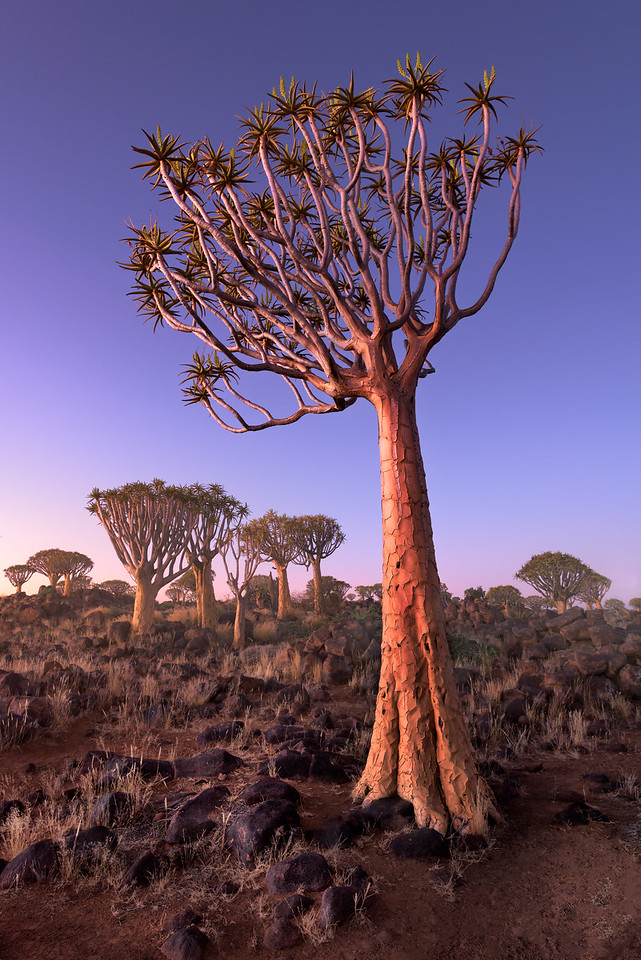 Quiver Trees in the Rocky Desert at Dusk, Keetmanshoop, Namibia