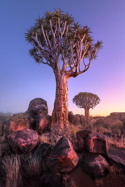 Quiver Trees in the Rocky Desert at Dawn, Keetmanshoop, Namibia