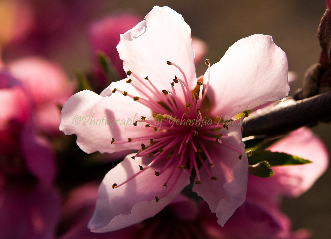 Peach Blossoms 50913 x18