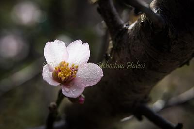Almond Blossom_6830