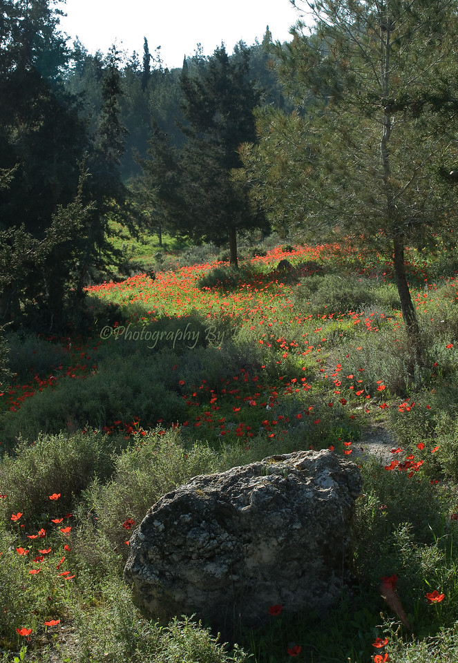 Poppies - Emek HaEla 08-121
