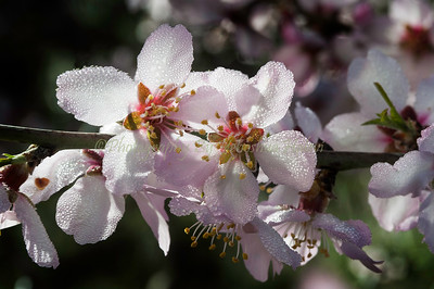 Almond blossoms at the peak of their bloom, dressed with dew