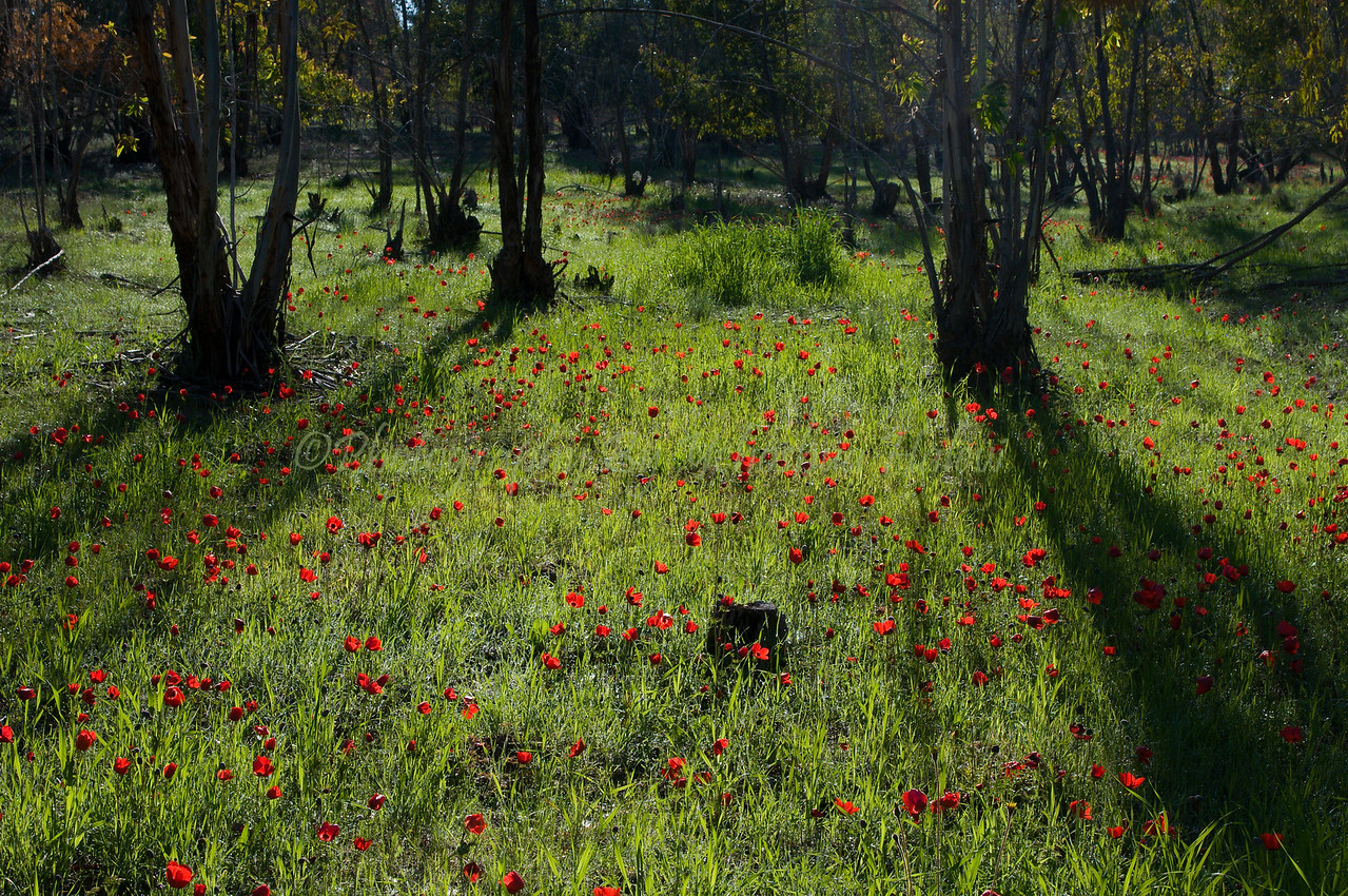 Springtime in the Ruchama Forest in Israel's Western Negev region.