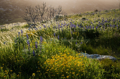 The Ela Valley -   Lupine Hill in Spring