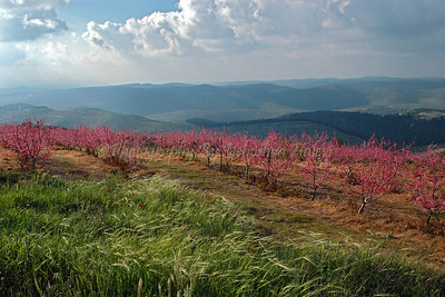 A peach orchard in full blossom in the Judean Mountains.