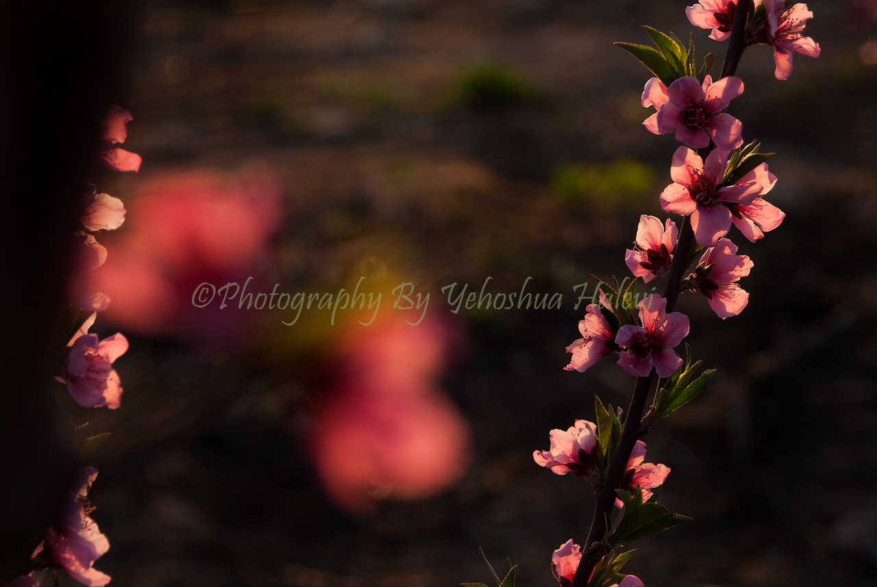 Peach Blossoms 531