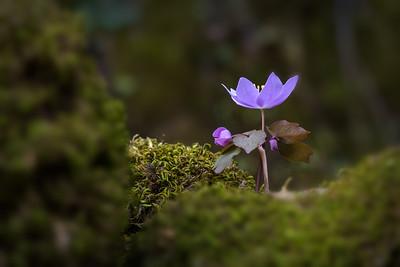 Spring Hepatica