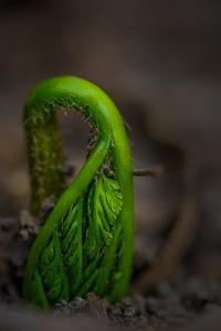 Emerging Fern