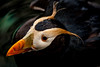 Tufted Puffin From Above