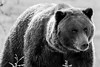 Shining Grizzly Bear