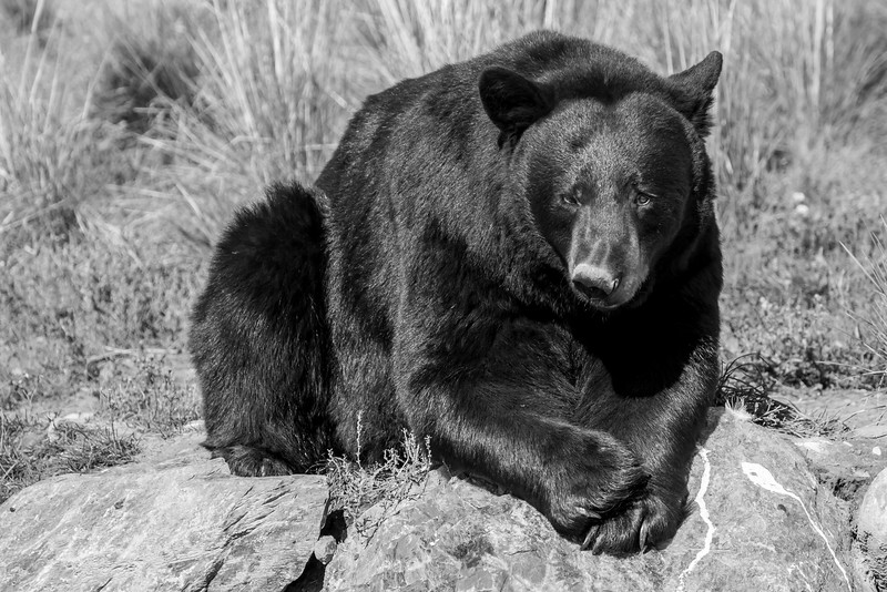 Dainty Black Bear
