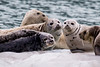 Posing Harbor Seals - Resurrection Bay, Alaska