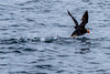 Tufted Puffin Taking Off - Resurrection Bay, Alaska