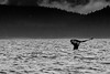Humpback Whale Tail (monochrome)