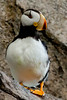 Horned Puffin Standing