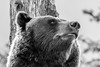 Pensive Grizzly Bear
