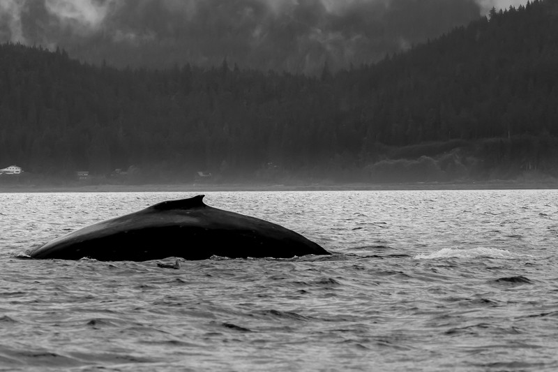 Humpback Whale and Gull in foreground (monochrome)