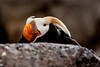 Tufted Puffin Peering