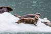 Harbor Seals - Resurrection Bay, Alaska