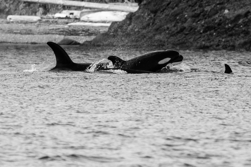 Orca family with Baby breach