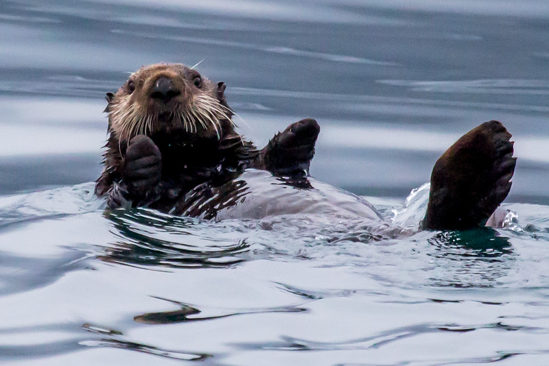 Sea Otter Hug? - Resurrection Bay, Alaska
