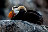 Tufted Puffin with Attitude