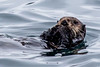 Sea Otter Nibbles - Resurrection Bay, Alaska
