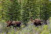 Two Bull Moose Just Prior to Rut - Denali NP