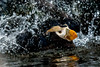 Tufted Puffin Splashing