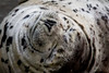Harbor Seal Grinning