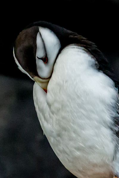 Horned Puffin Hiding