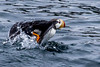 Horned Puffin Taking Off - Resurrection Bay, Alaska