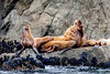 Sea Lions - Resurrection Bay, Alaska