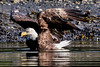 Bald Eagle - Skagway, Alaska