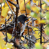 Spotted Towhee, Douglas County, Colorado, October 2013