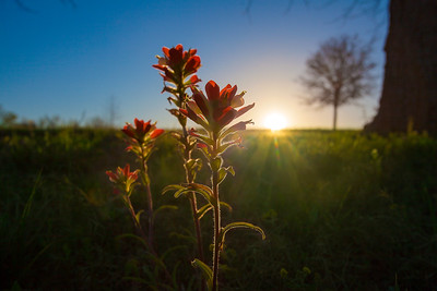 Indian Paint Brush_Chappell Hill