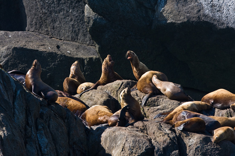 Sea lions at sea in Resurrection Bay