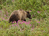 Grizzly among Alaskan Fireweed