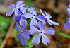 Blue Phlox<br /> Rich Mt Road