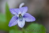 Blue Violet along a Smokies trail.