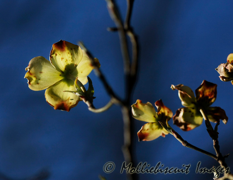 Dogwood blossom with backlighting.