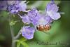 Purple Phacelia Attracts Visitor